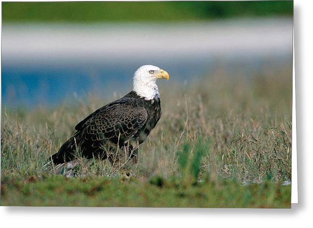 Bald Eagle On Sandbar Greeting Card
