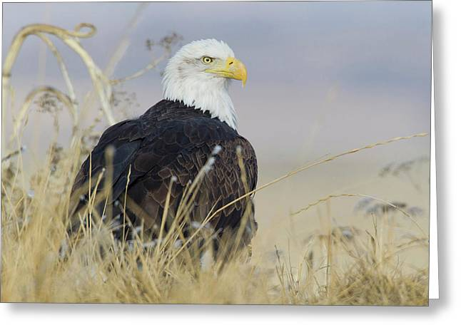 Bald Eagle On The Ground Greeting Card by Ken Archer
