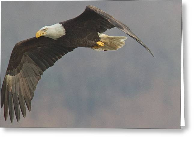 Bald Eagle On The Wing Greeting Card by Stanley Klein
