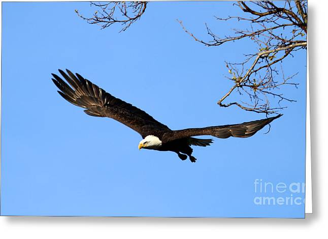 Bald Eagle Out Of The Tree Greeting Card by Darrin Aldridge