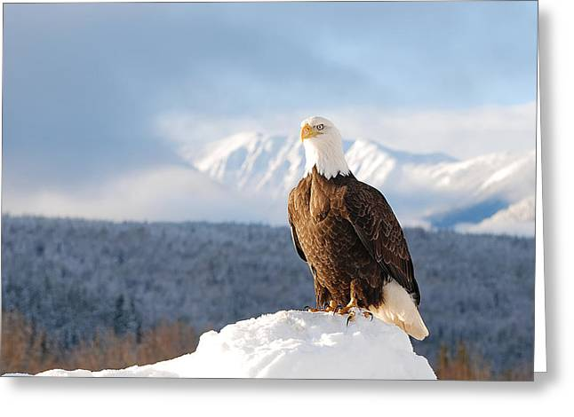 Bald Eagle Posing In Winter Greeting Card by Lisa Hufnagel
