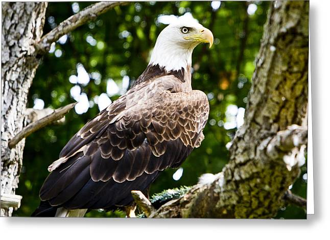 Greeting Card featuring the photograph Bald Eagle by Ricky L Jones