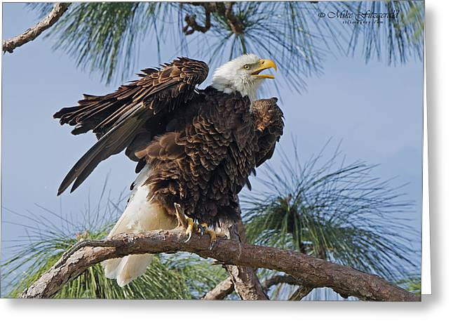 Bald Eagle Shimmy Greeting Card by Mike Fitzgerald