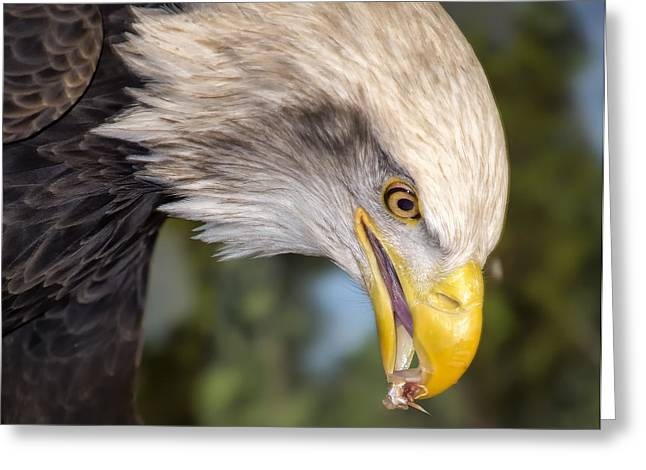 Bald Eagle Snacks Greeting Card by Bill Tiepelman