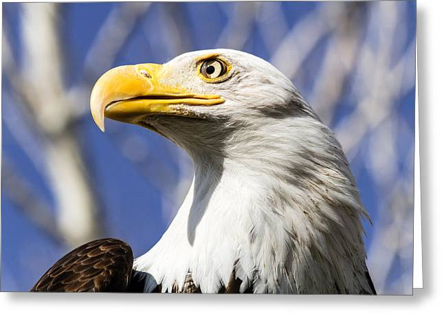 Bald Eagle Greeting Card by Teri Virbickis