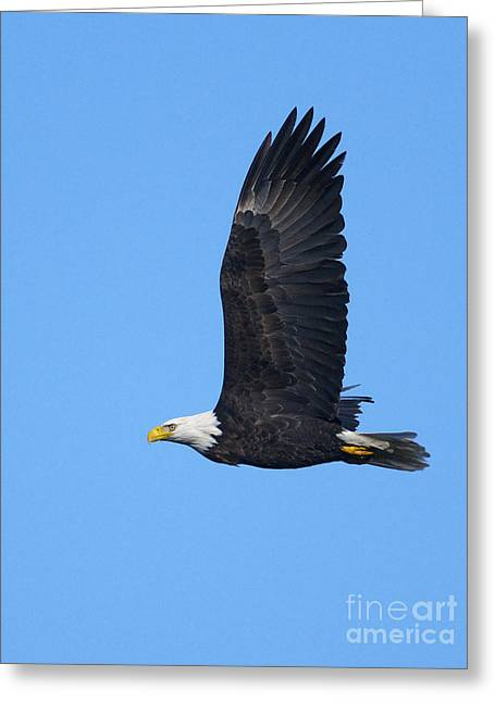 Bald Eagle Vertical 2 Greeting Card by Sharon Talson