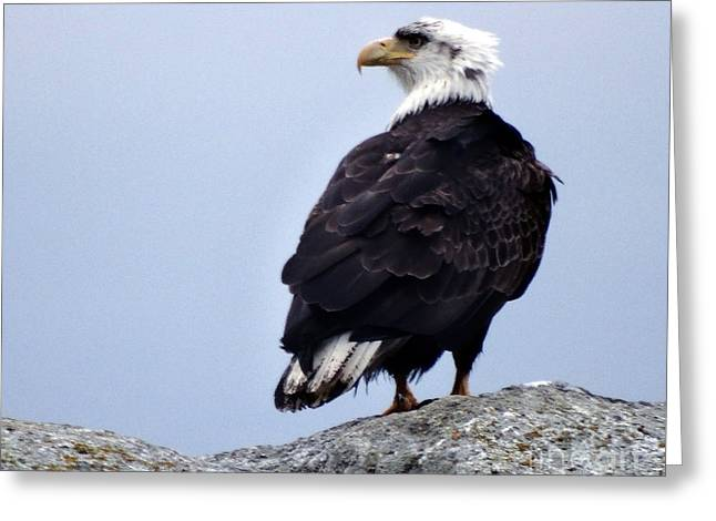 Bald Eagle Watching Greeting Card by Gena Weiser