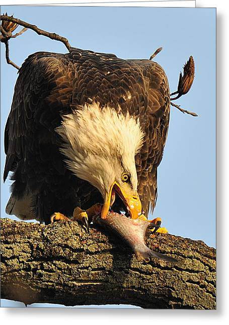 Bald Eagle With Fish 2 Greeting Card by Angel Cher