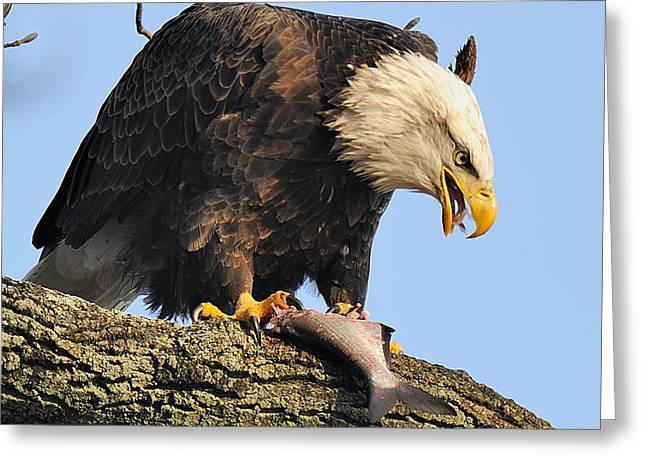 Bald Eagle With Fish Greeting Card by Angel Cher