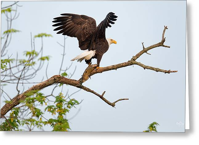 Bald Eagle With Fish Greeting Card by Everet Regal