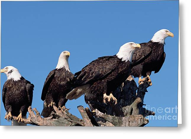 Bald Eagles Quartet Greeting Card by Yva Momatiuk and John Eastcott