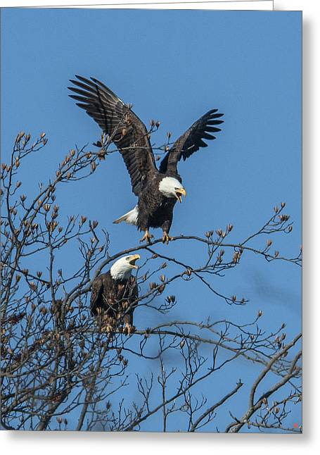 Bald Eagles Screaming Drb169 Greeting Card
