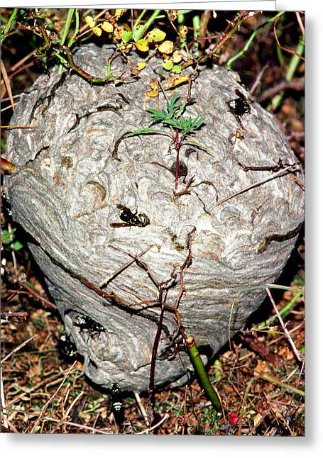 Bald-faced Hornets Nest Greeting Card