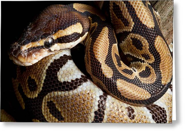 Greeting Card featuring the photograph Ball Python Python Regius by David Kenny