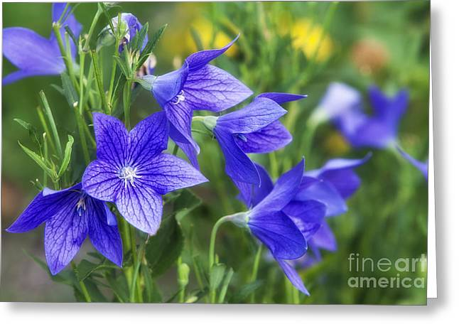 Balloon Flower Greeting Card by Timothy Hacker
