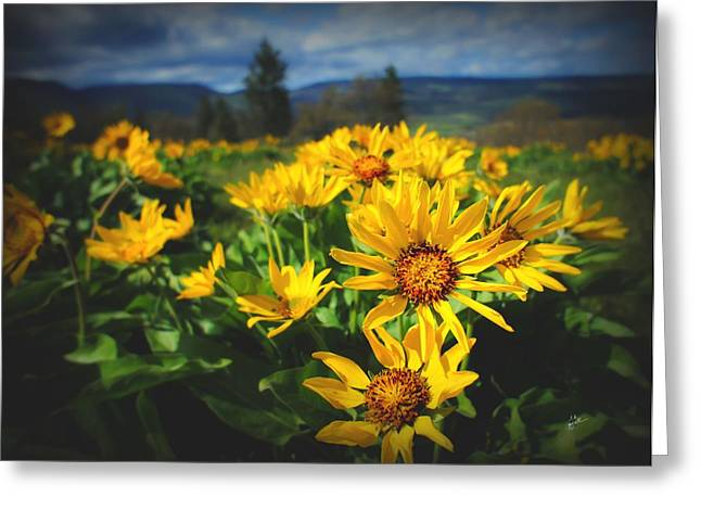 Balsamroot Of The Gorge Greeting Card by TK Goforth