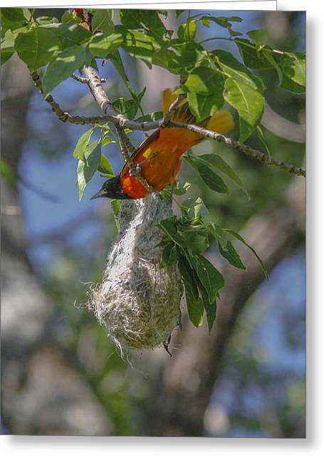 Baltimore Oriole And Nest Greeting Card by Jill Bell