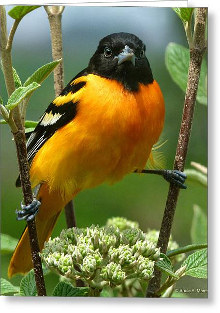 Baltimore Oriole Greeting Card by Bruce Morrison