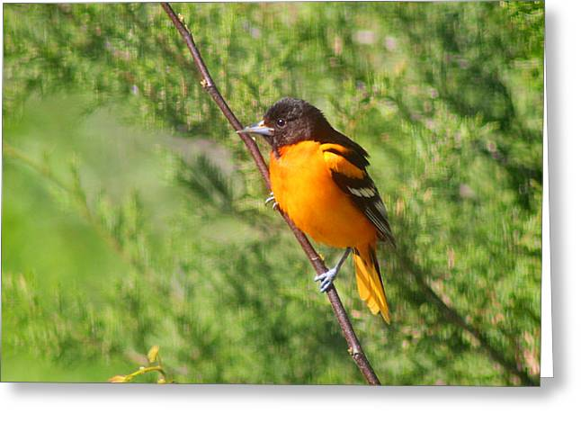 Baltimore Oriole Male Greeting Card