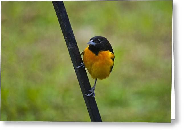 Baltimore Oriole On Pole Greeting Card by Shelly Gunderson
