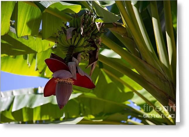 banana flower 4 photographsally simon