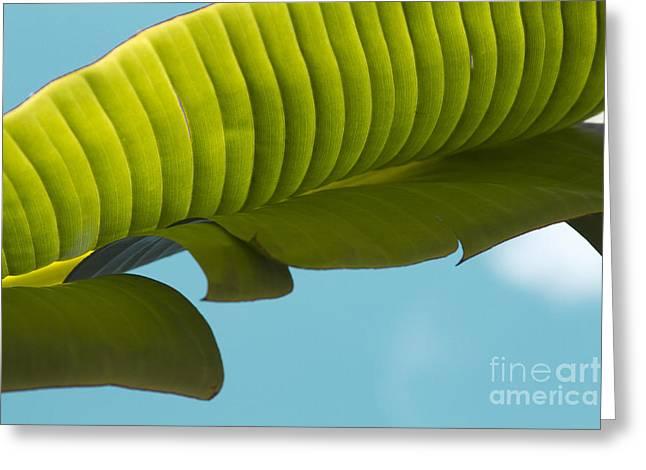 Banana Leaf And Maui Sky Greeting Card by Sharon Mau