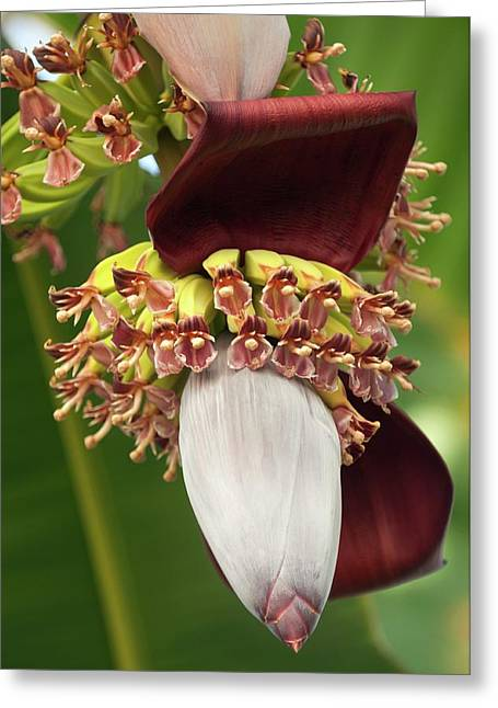 Banana Palm Flower (musa Hybrid) Greeting Card