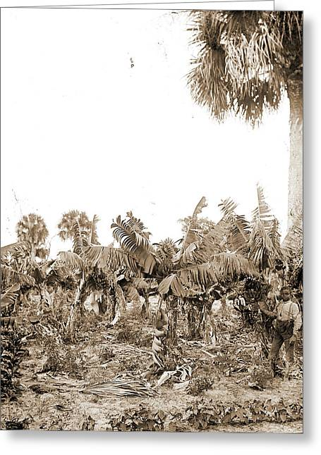 Banana Plantation, Indian River, Jackson, William Henry Greeting Card by Litz Collection