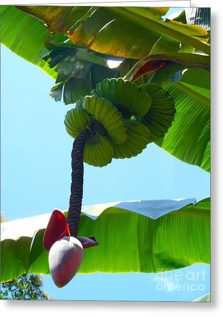 Banana Stalk Greeting Card by Carey Chen