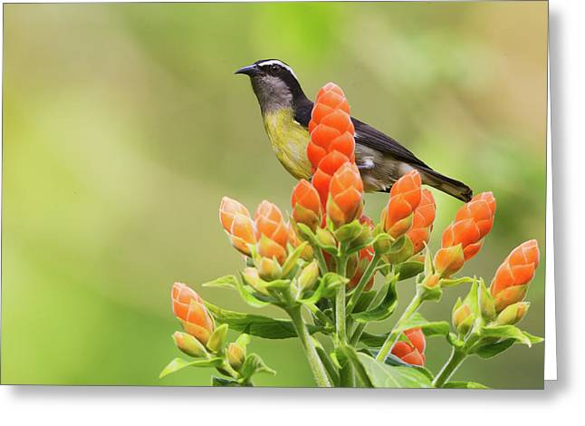 Bananaquit On Blooms Greeting Card