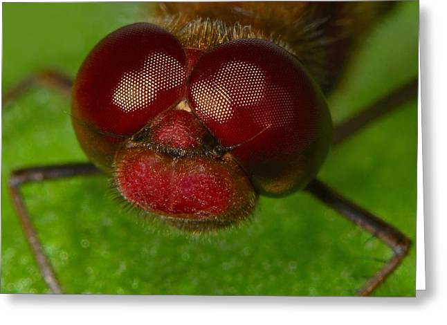 Band-winged Meadowhawk Greeting Card by Tony Beck