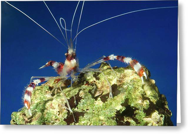Banded Coral Shrimp Greeting Card by Nigel Downer