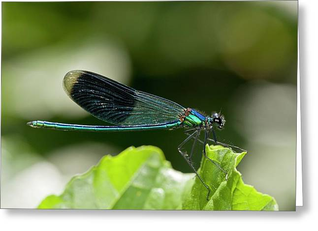 Banded Demoiselle Damselfly Greeting Card by Bob Gibbons
