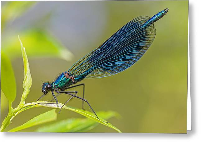 Banded Demoiselle Damselfy Male Greeting Card