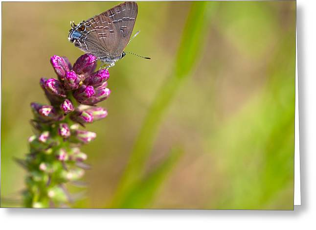 Banded Hairstreak Butterfly Greeting Card