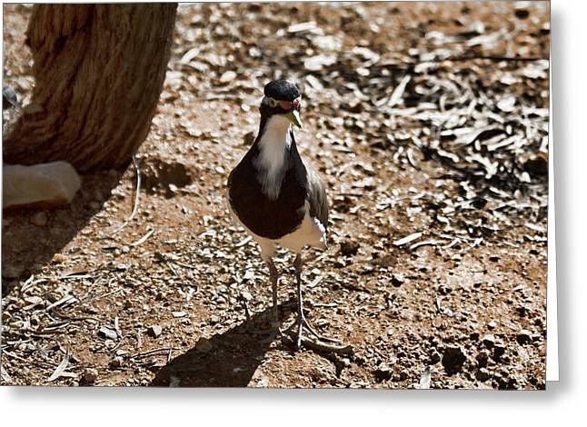 Banded Lapwing Greeting Card