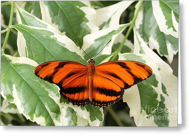 Banded Orange Longwing Butterfly Greeting Card by Judy Whitton