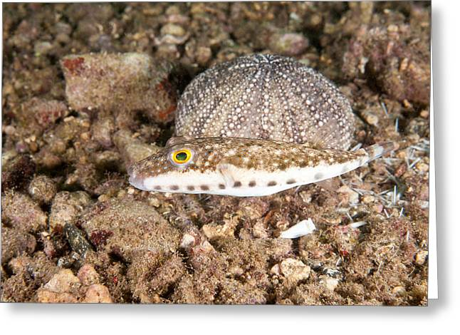 Bandtail Puffer Greeting Card by Andrew J. Martinez