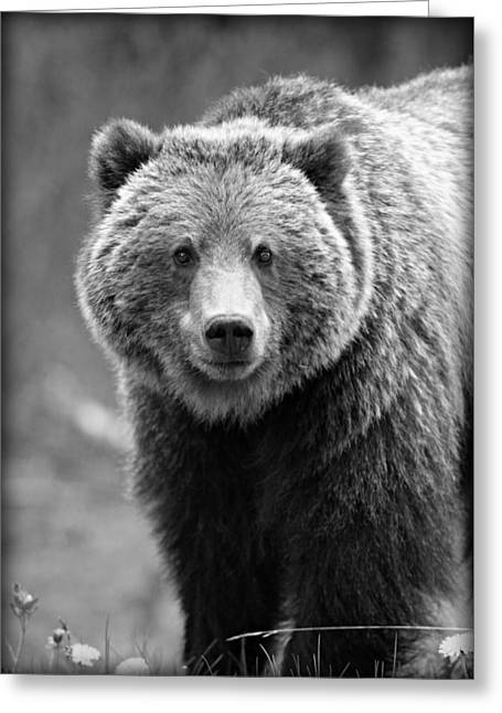 Banff Grizzly In Black And White Greeting Card by Stephen Stookey