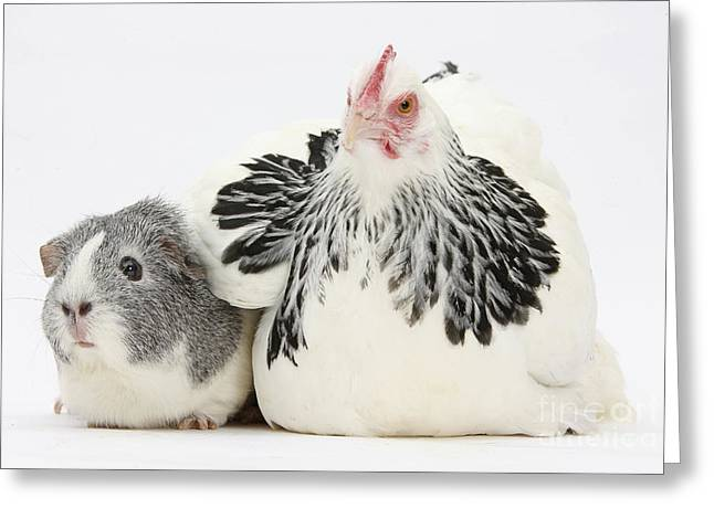 Bantam Hen And Guinea Pig Greeting Card