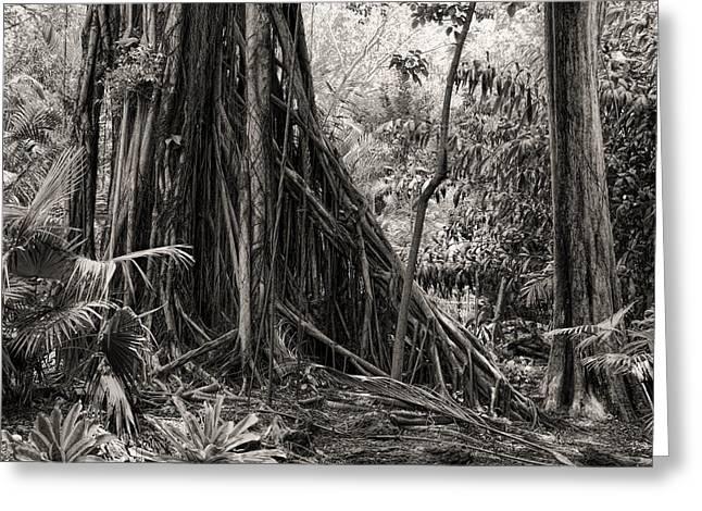 Strangler Fig And Cypress Tree Greeting Card