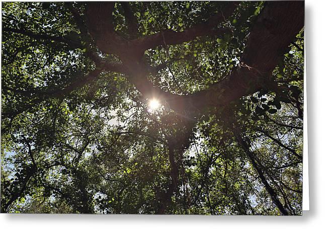 Banyan Tree Greeting Card by John Hancock