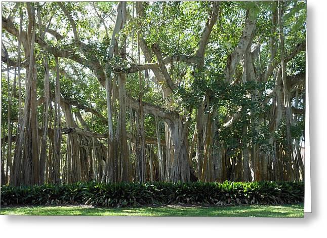 Banyan Tree Greeting Card by Kay Gilley