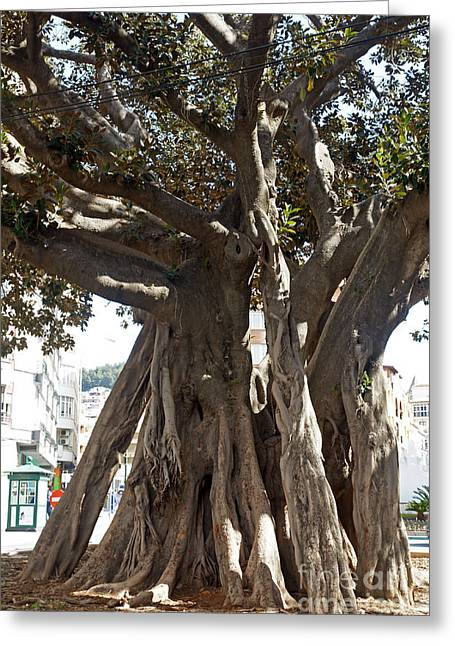 Banyan Trees In Velez Malaga's Parque De Andalucia Greeting Card by Rod Jones
