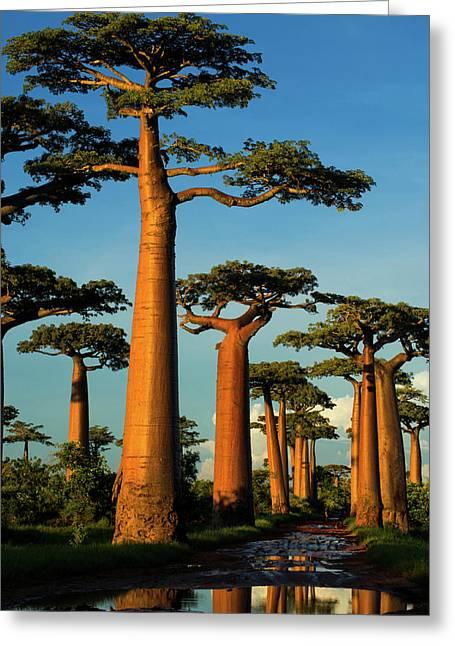 Baobab (adansonia Grandidieri Greeting Card by Andres Morya Hinojosa