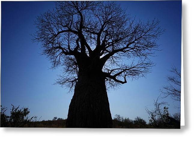 Baobab In The Okavango Delta Botswana Greeting Card by Hiroya Minakuchi
