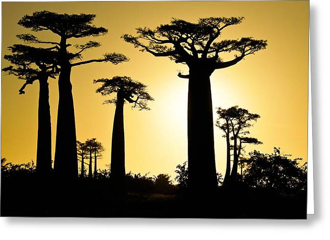 Baobab Silhouette Greeting Card by Michele Burgess