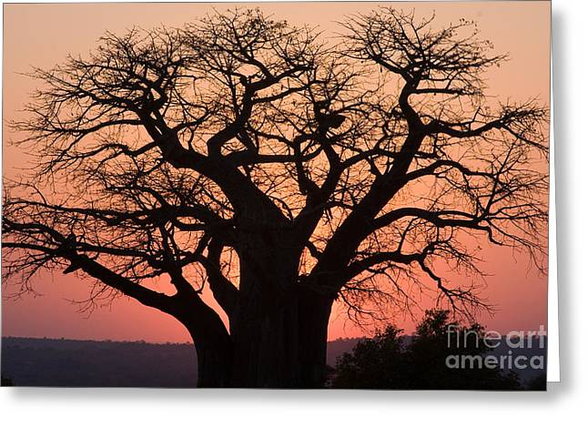 Greeting Card featuring the photograph Baobab Tree Sunset by Chris Scroggins