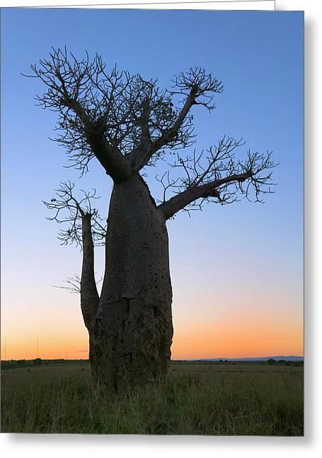 Baobab Trees (adansonia Greeting Card by Keren Su
