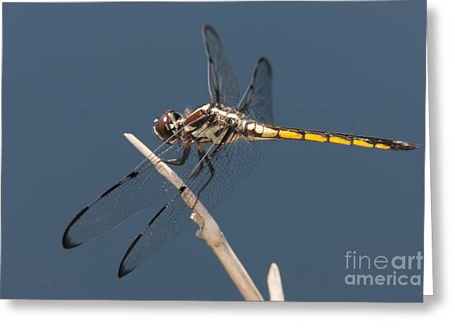 Bar-winged Skimmer Dragonfly I Greeting Card